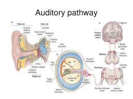 What Is Brainstem Auditory Evoked Response (BAER Test)?
