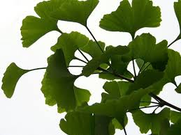 Ginkgo Biloba Should I Take For Tinnitus