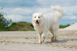 The Great Pyrenees
