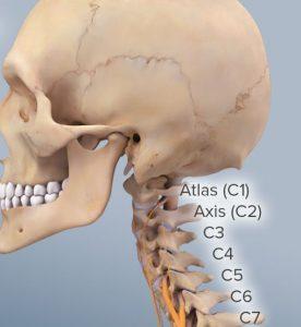 Cervical Spinal anatomy
