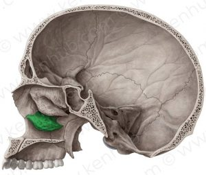 Inferior Nasal Concha