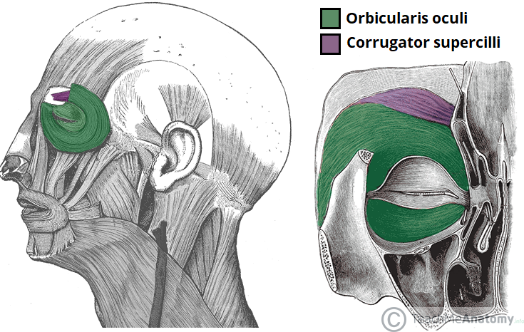 Facial Muscles Around The Orbital Opening
