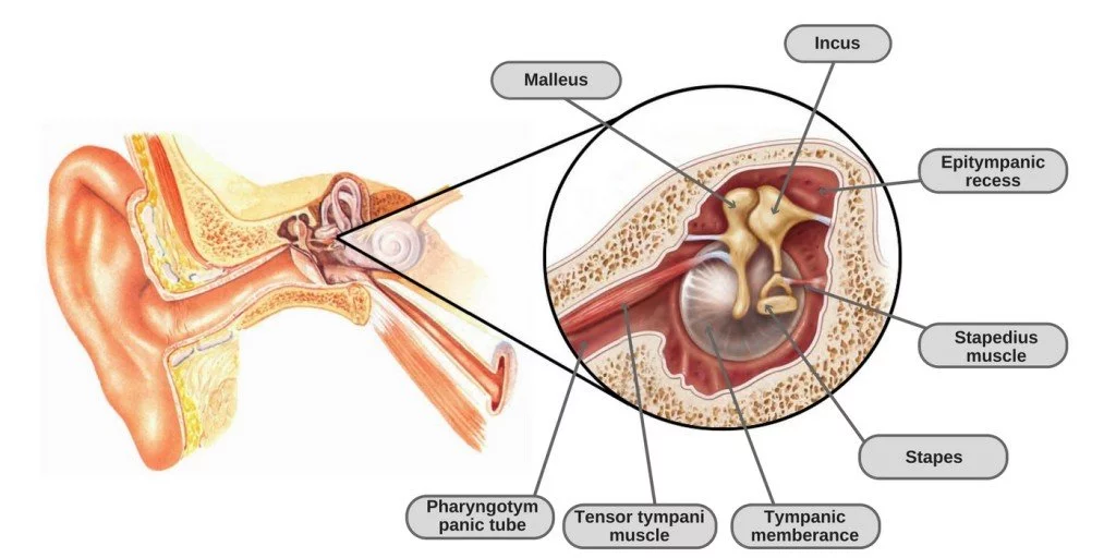 Tensor Tympani and Stapedius Muscles