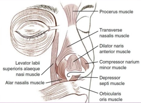 Facial Muscles Around The Nose Opening