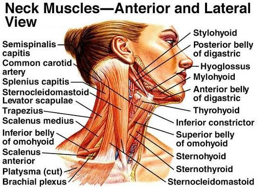 Neck Muscles