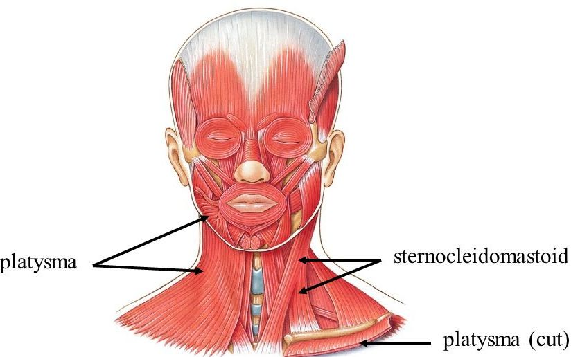 Superficial Neck Muscles