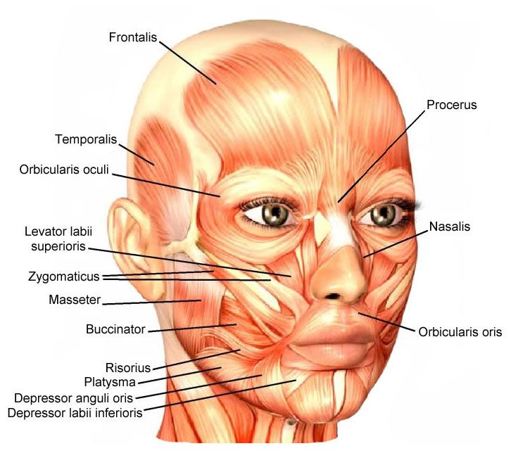 Facial Muscles Around The Oral Opening